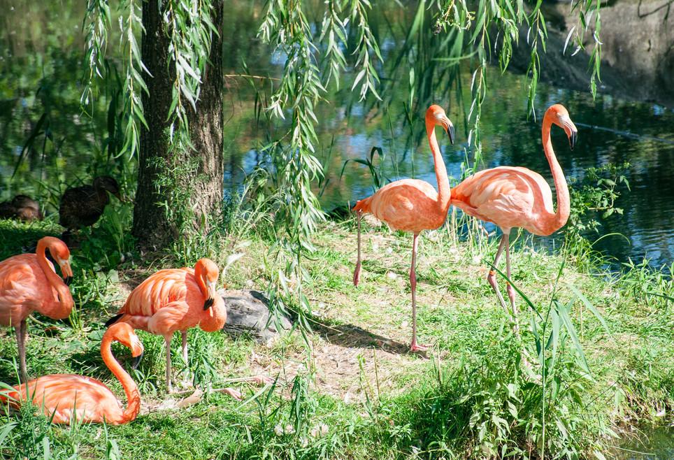 Les flamants roses du Zoo de Granby