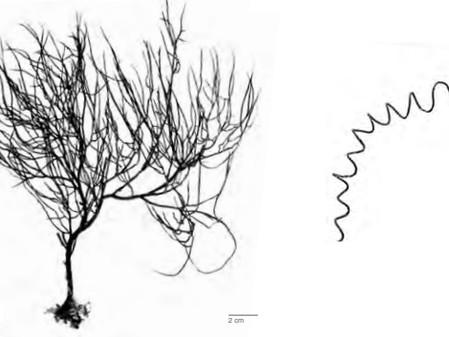 Черный коралл: где растет, как определять