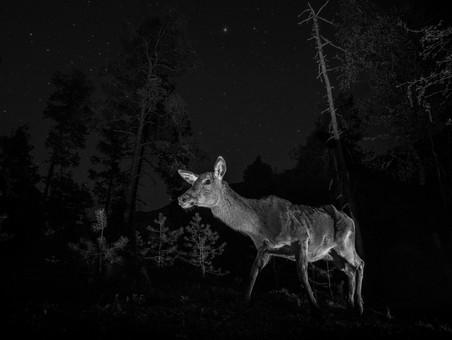 Red deer at night