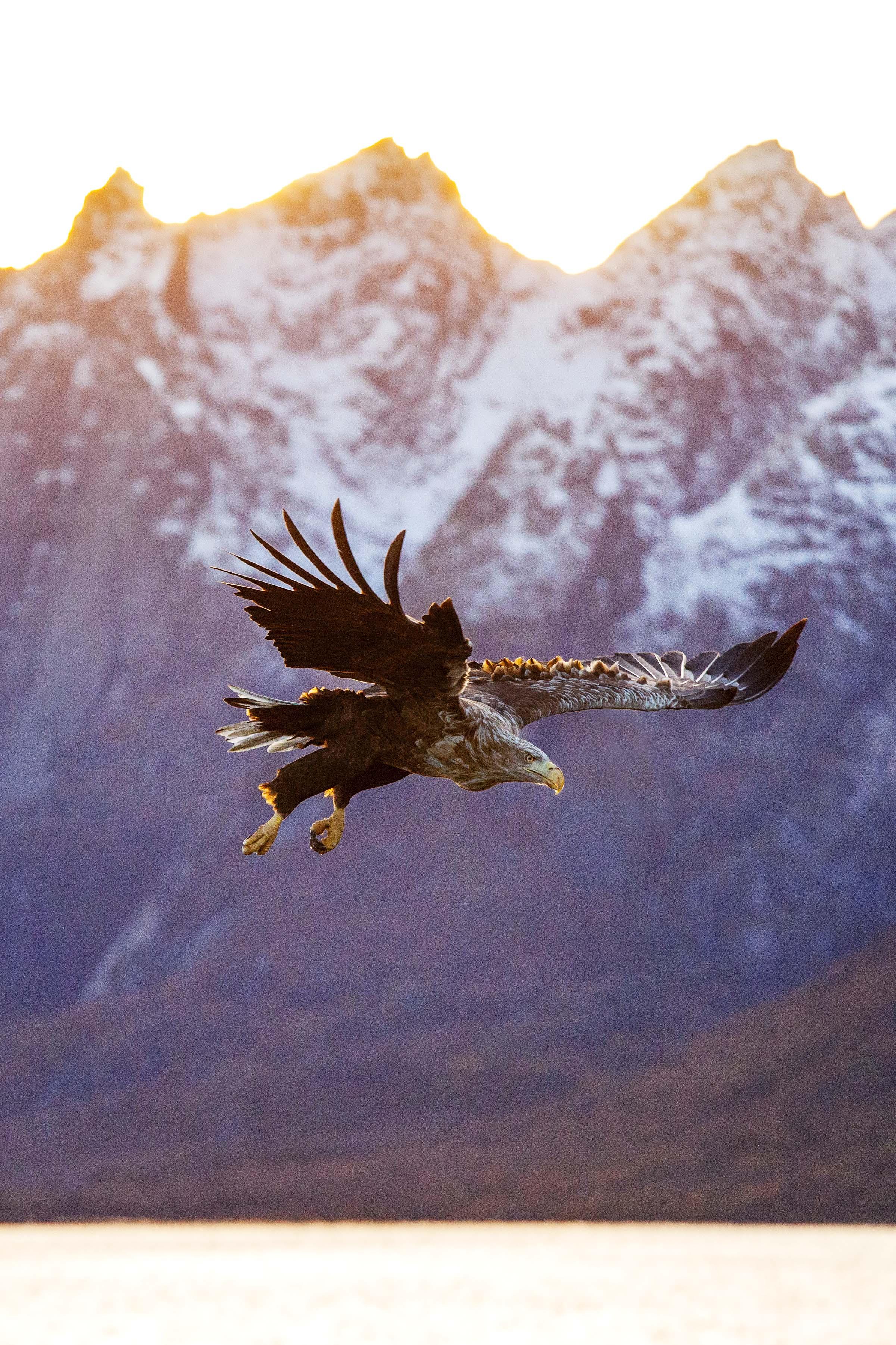 White Tailed Eagle in Lofoten