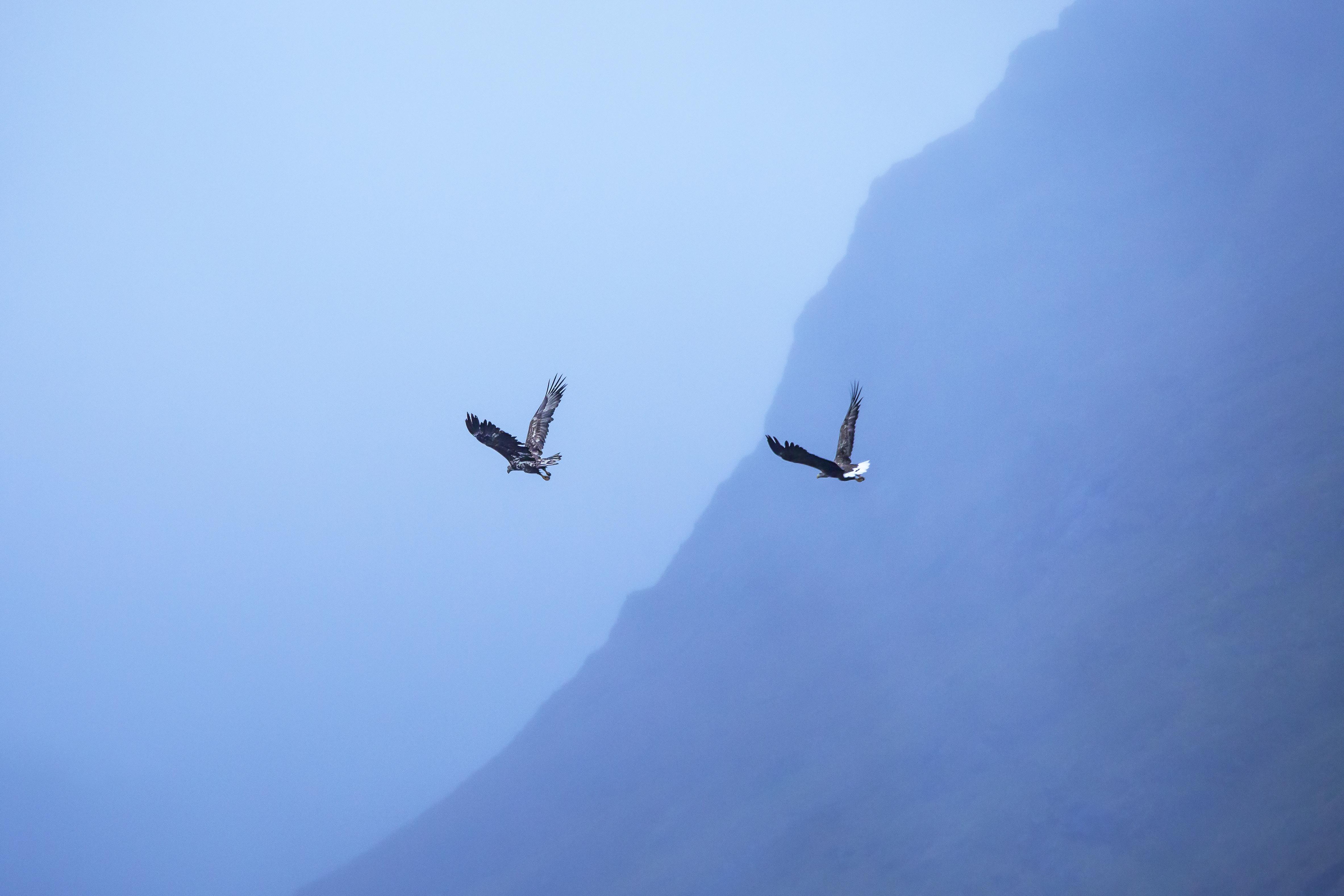 Havørn, Trollfjorden, Lofoten