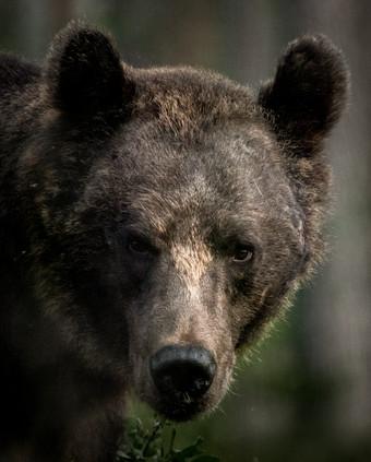 Brown Bear portrait 3