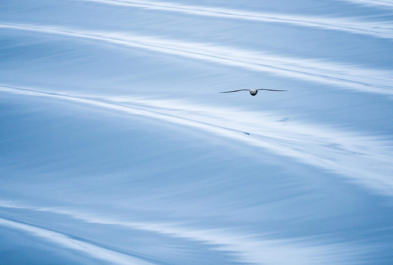 Northern Fulmar Surfing