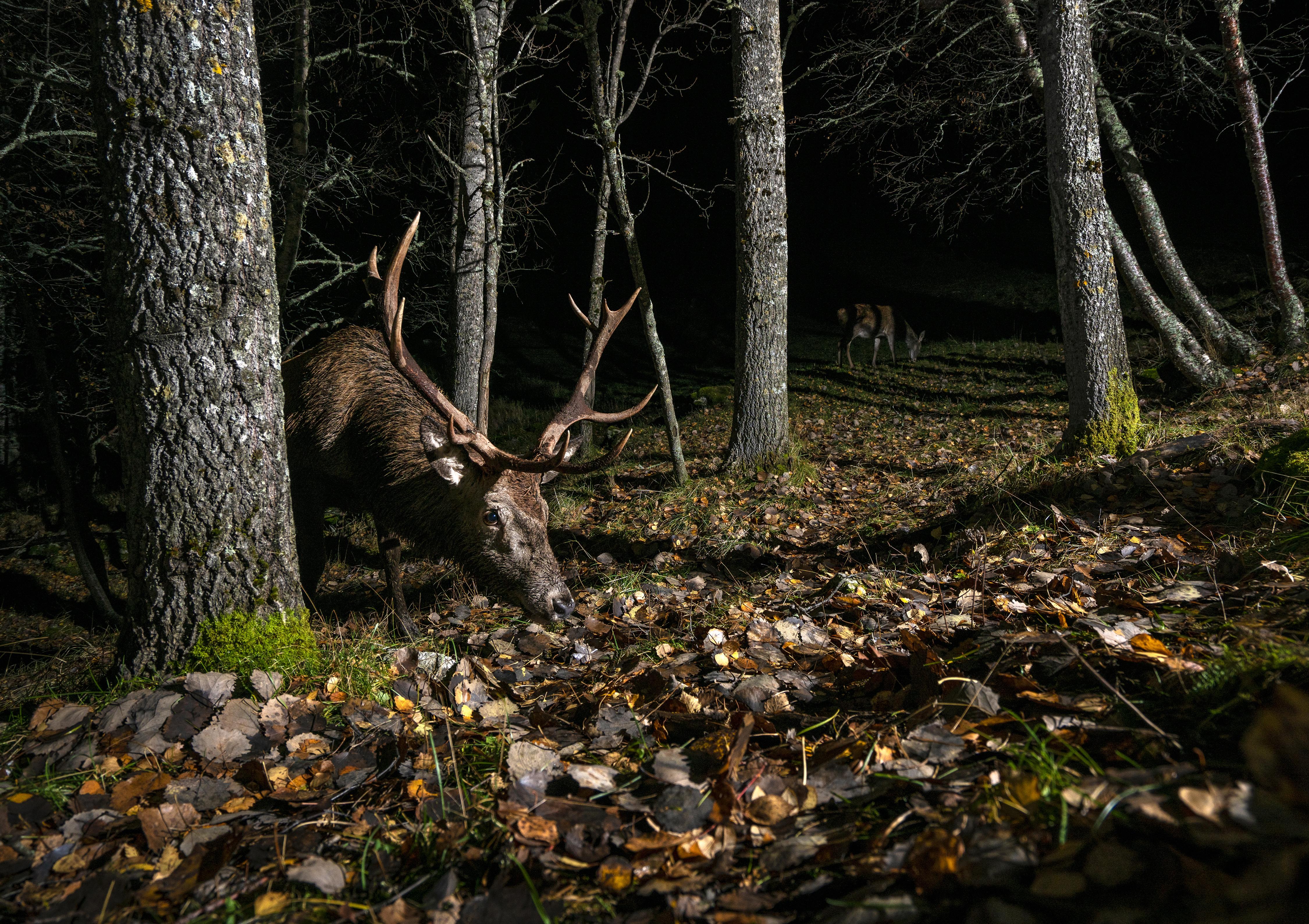 Deer stag and Doe