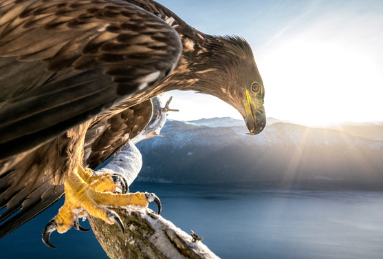 Young White Tailed Eagle