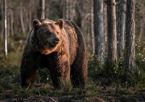 Brown Bear portrait 2