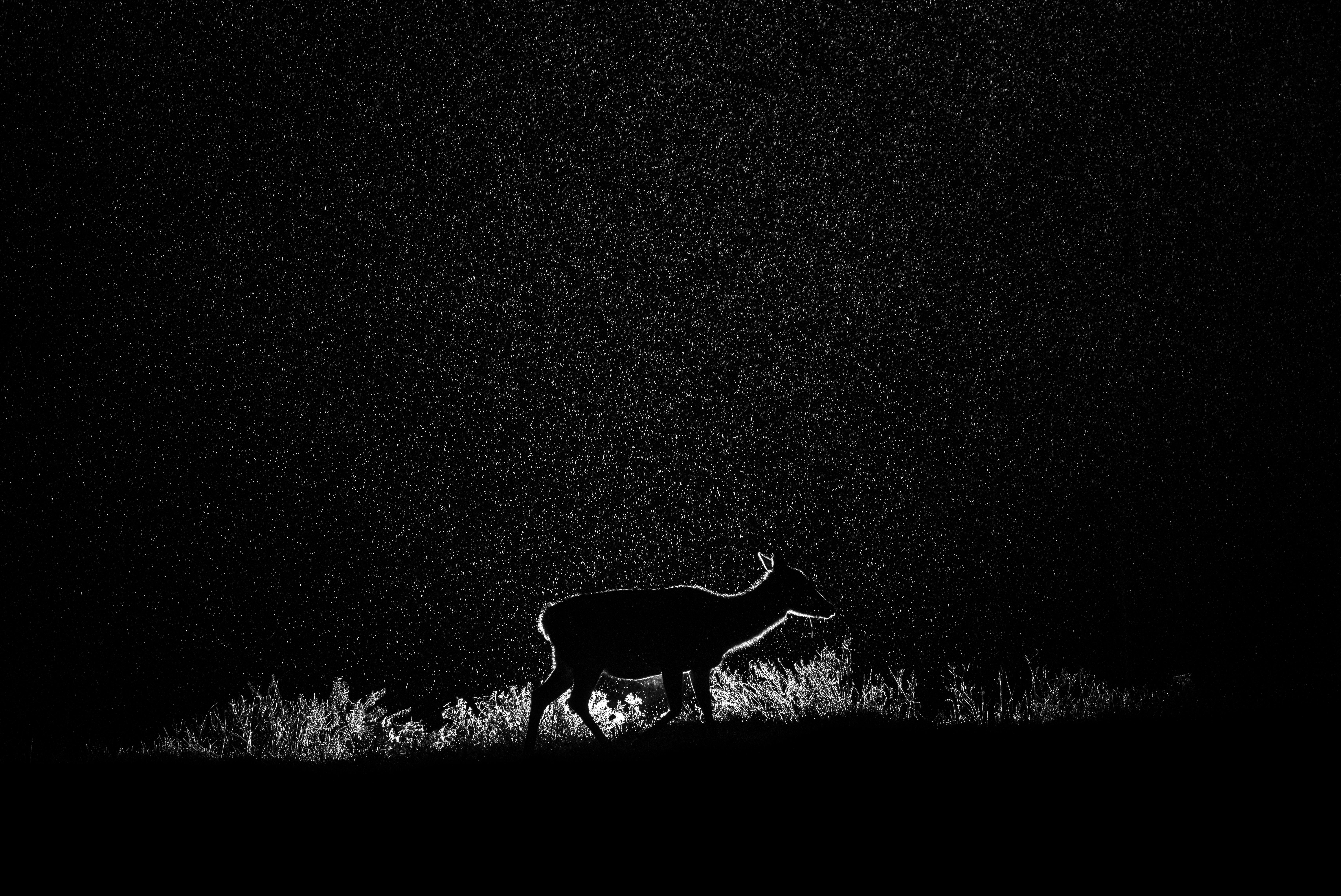 Deer in heavy rainfall