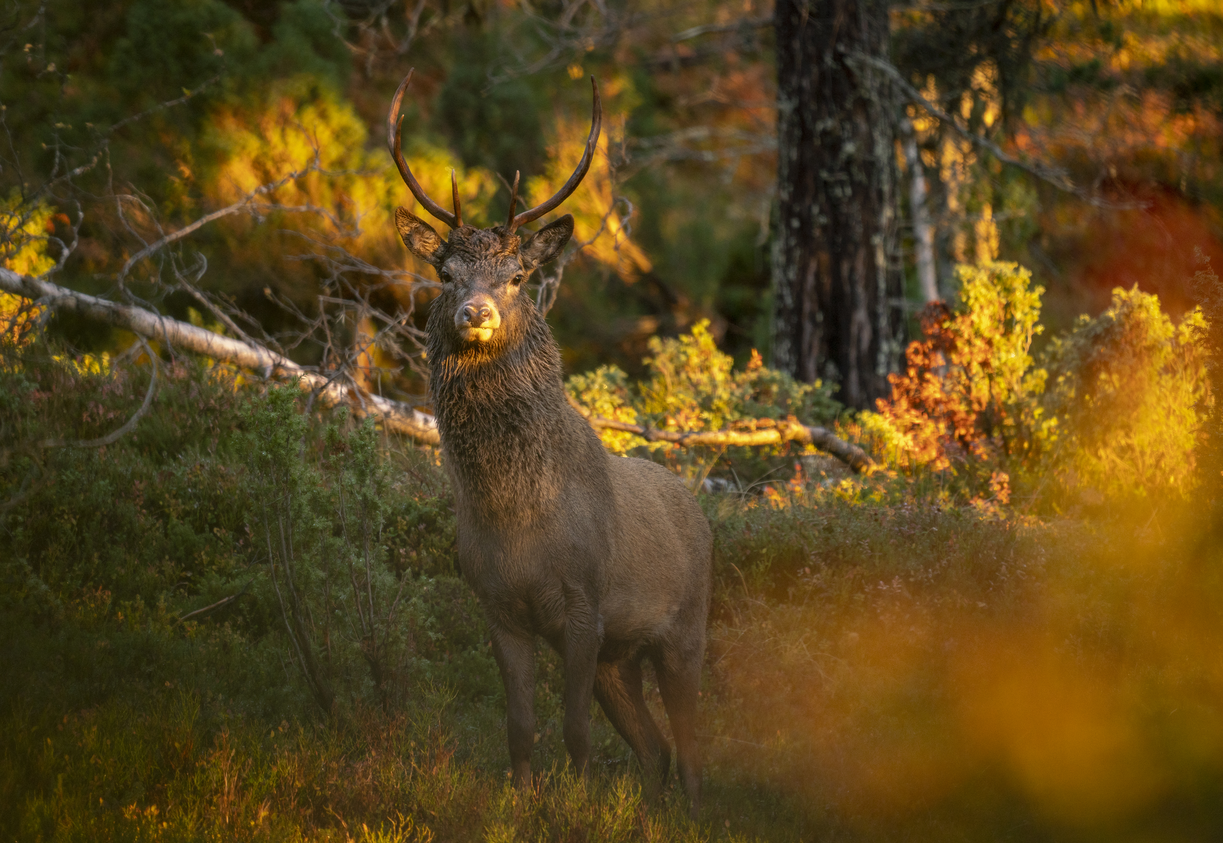 Small Red Deer Stag