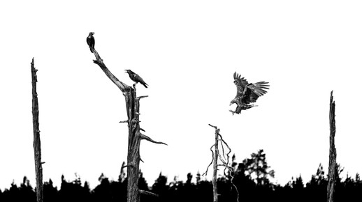 White tailed eagle and ravens