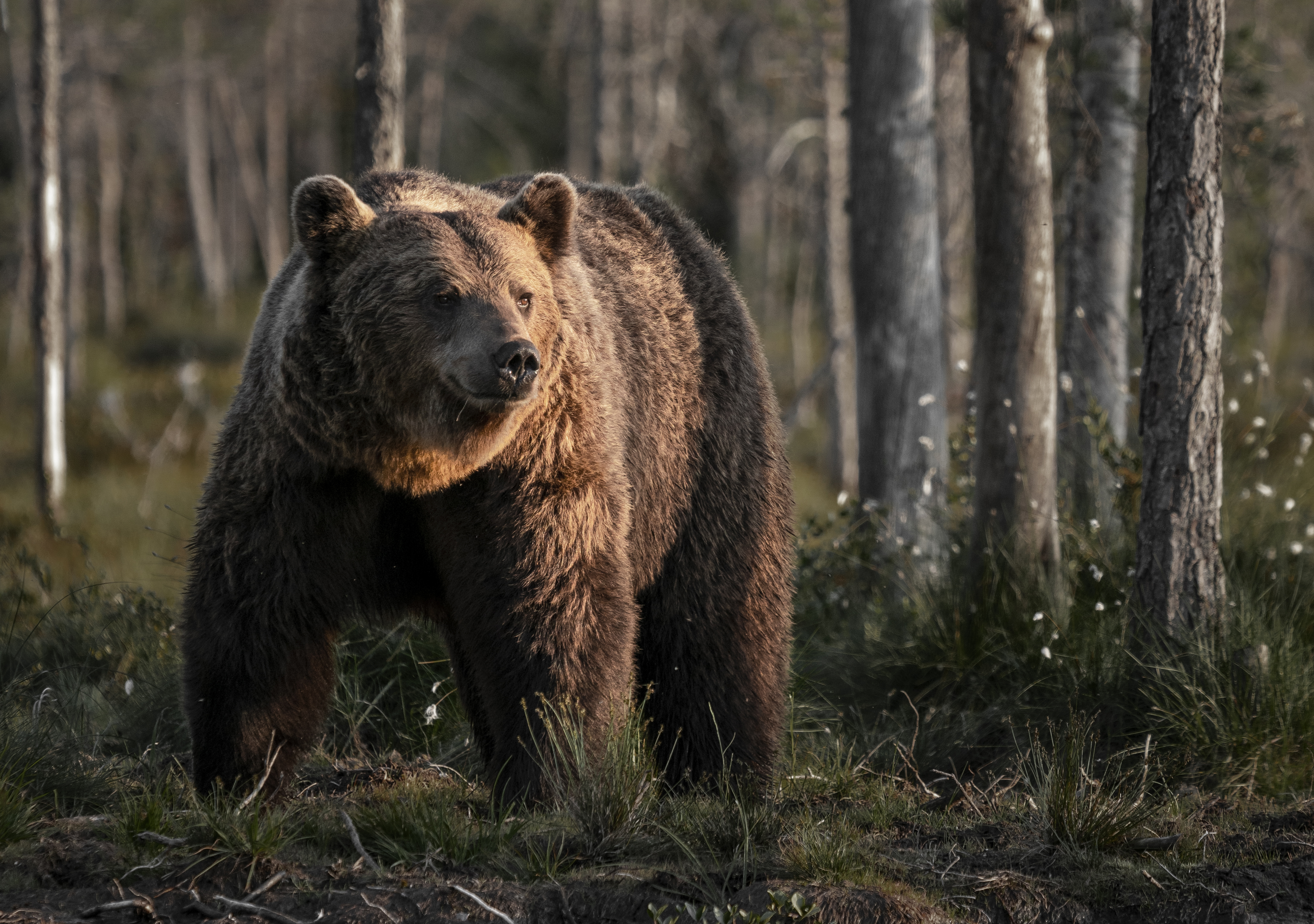 Finnish Brown Bear
