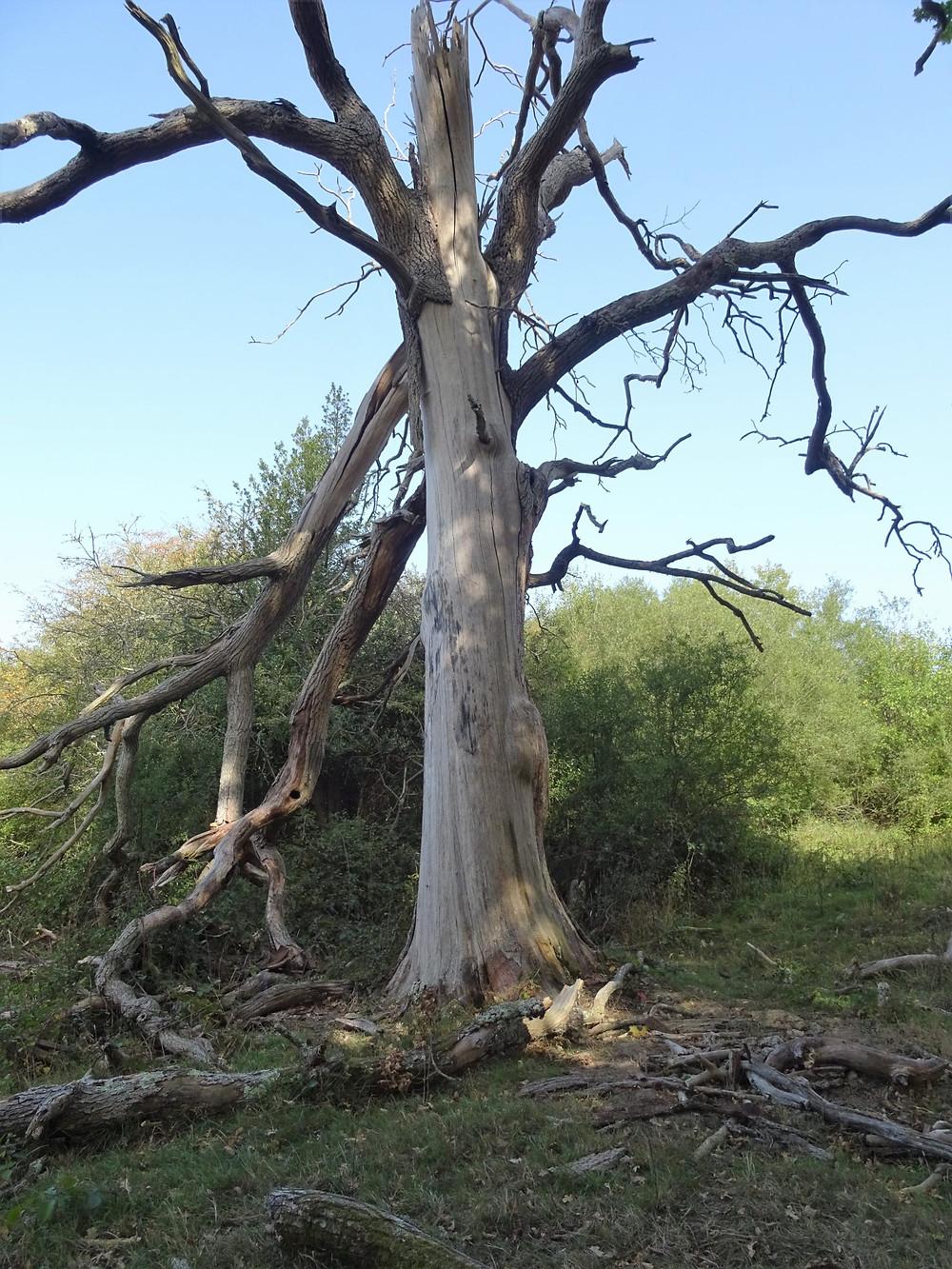 Bark peeled off from lightening struck tree