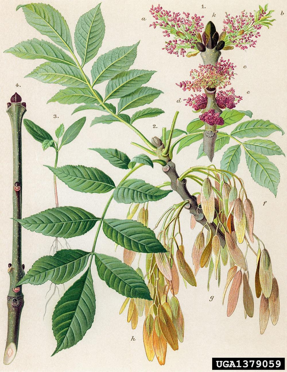 Illustration of Common Ash Tree, European Ash Tree, Fraxinus excelsior