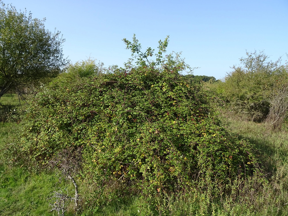 Young oak tree surrounded by scrub