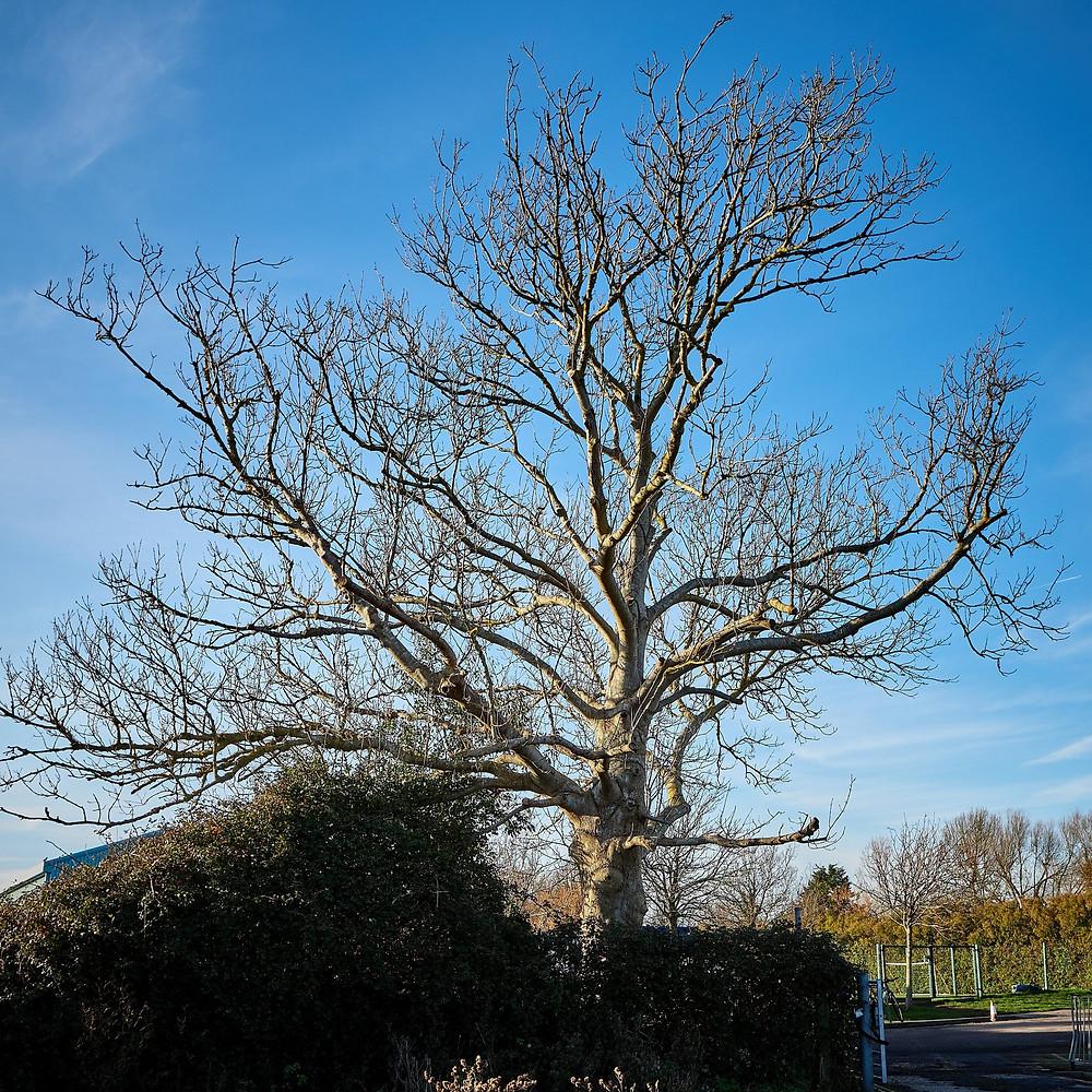 Ash tree during winter, in Sidlesham