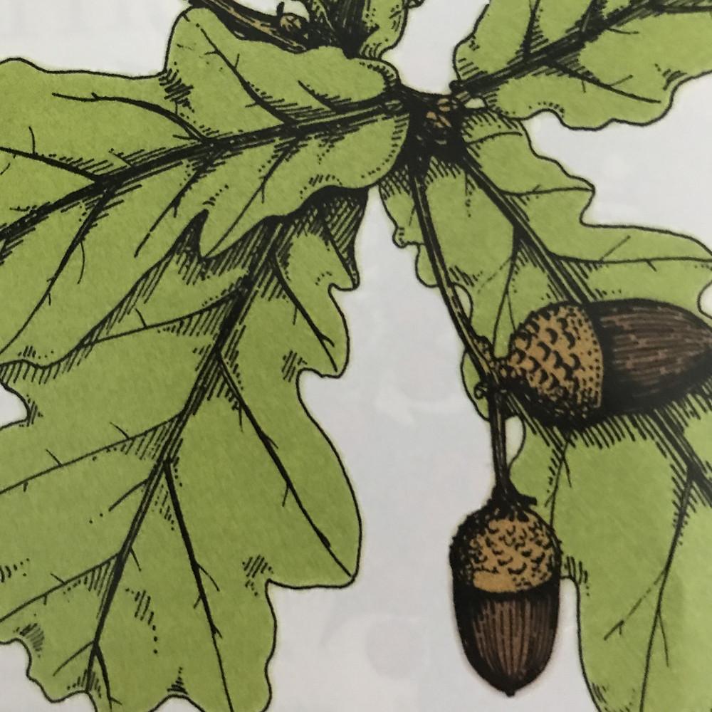 Illustration of acorns and oak tree leaves