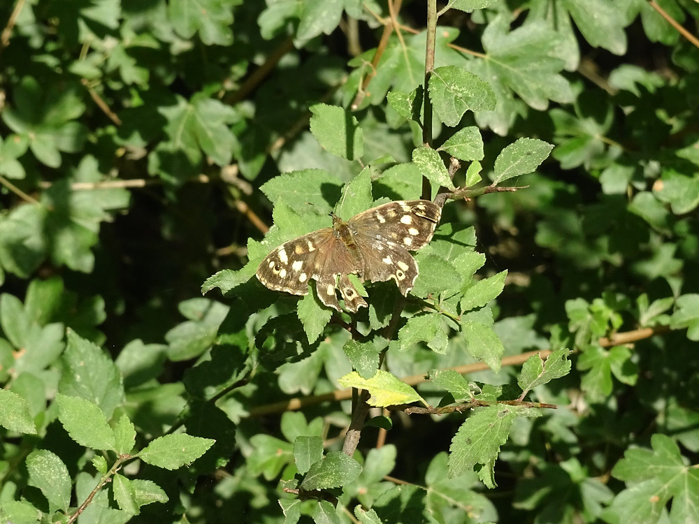 Speckled Wood butterfly settled on leaves