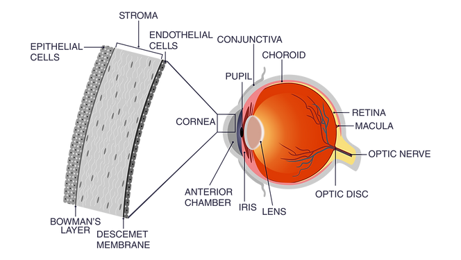 EYE ANATOMY DETAILED2.png