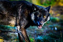20161229_Tatman_Red_Wolf_0831