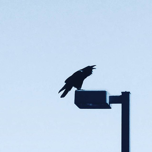 A very large raven