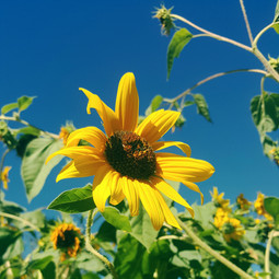Sunflower, Northern New Mexico