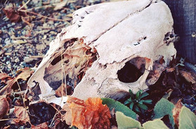 Skull, Northern New Mexico