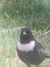 Ouzels in the Garden!!