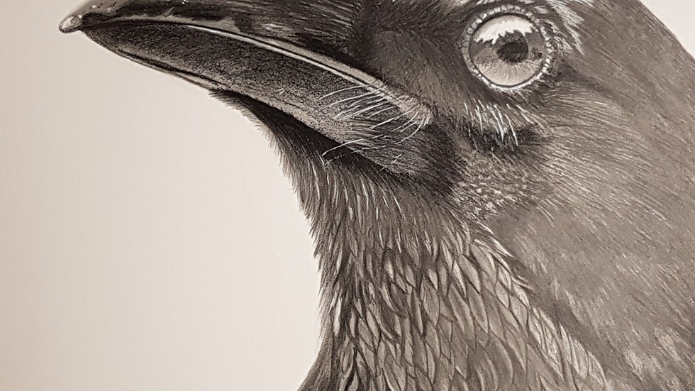 "Raven pencil on pastelmat 11"" x 14"" photocredit to JT Pix"