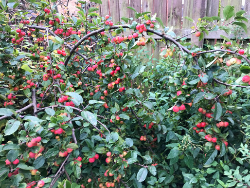 The importance of having an apple tree in your garden