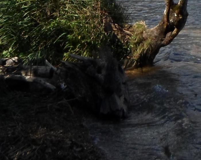 Bourricot en baignade