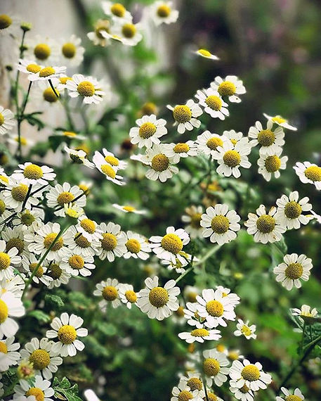 🌜Feverfew 🌛_With the days leading up t