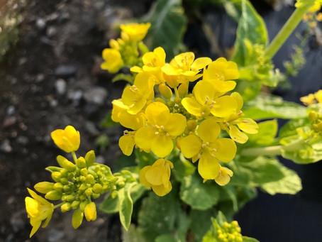 菜の花の笑顔が素敵♡