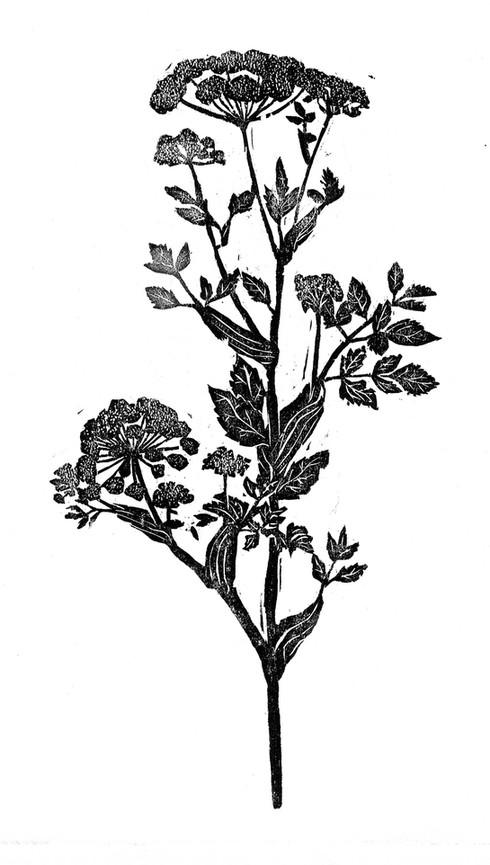 4-xilo-Angelica-raiz-pq.jpg
