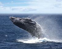 whalejump2.jpg