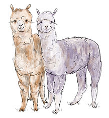 alpaca_rosegreys.jpg