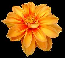 purepng.com-dahlia-flowerdahliaflowernat