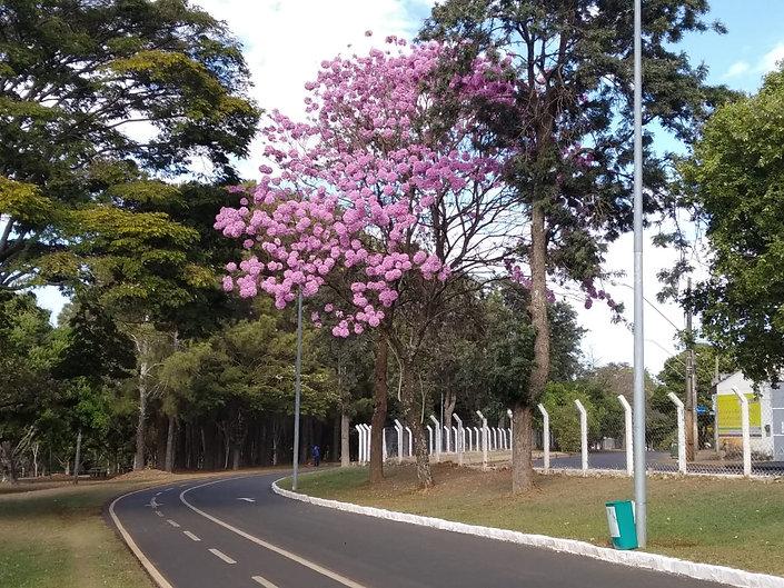 Ipês-Parque-do-Sabiá.jpg