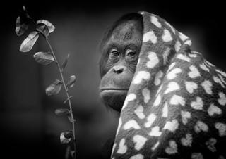 B2 Orangutan.jpg