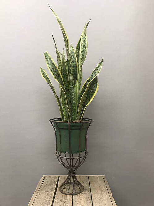 Snake plant or Mother-in-laws tongue