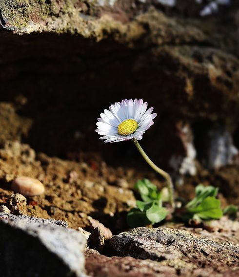 daisy-5009524_1920.jpg