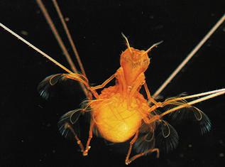 Deep Sea Ant
