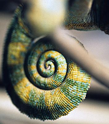 Calyptratus (Veiled) Chameleon.