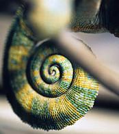 Chameleon tail.