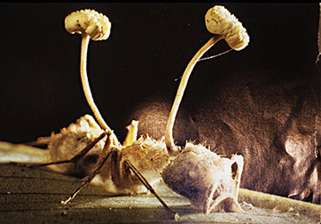 Cordyceps fungus & ant.