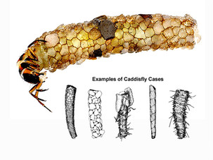 Caddis Fly Larvae