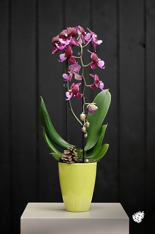 Orchidée Cascade