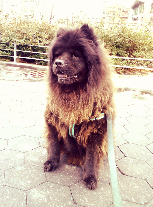 Charlie the Chow