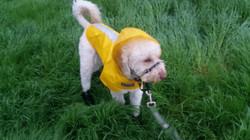 Bailey Doodle in his raincoat!