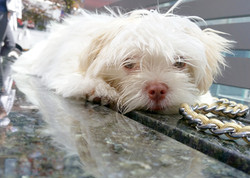 Lola the Malshi Puppy