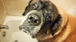 Elvis the English Long-Hair Mastiff