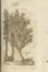 John Gerard 1597 Genista